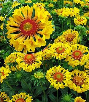 "Gaillardia ""Moxie"",2 Pflanzen"