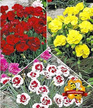 Gartennelken-Kollektion,9 Pflanzen
