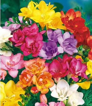 japanische wei e vogelblume habenaria radiata 2 st ck orchidee g nstig online kaufen mein. Black Bedroom Furniture Sets. Home Design Ideas