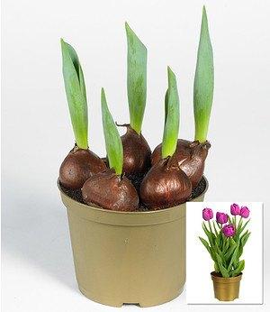 tulpen im topf g nstig online kaufen mein sch ner garten shop. Black Bedroom Furniture Sets. Home Design Ideas