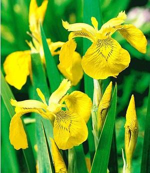 Gelbe Schwertlilie (Iris pseudacorus),3 Pflanzen Wasserpflanze