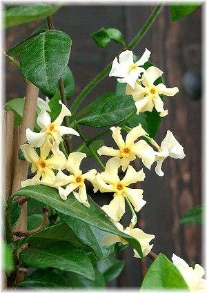 Gelber Sternjasmin Trachelospermum asiaticum