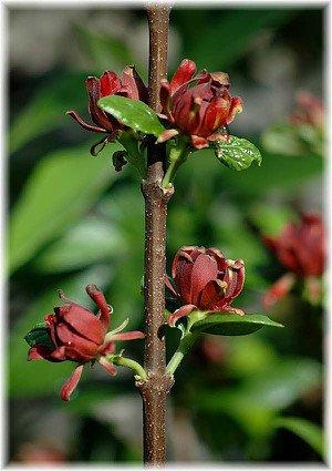 Gewürzstrauch Calycanthus floridus
