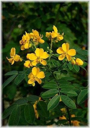 Gewürzstrauch Senna corymbosa, Cassia corymbosa
