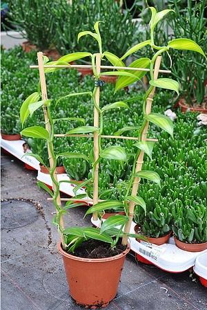 Gewürzvanille (Echte Vanille) - Vanilla planifolia