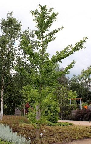 Ginkgo, Ginkgobaum, Mädchenhaarbaum, Fächerblattbaum (100 cm)