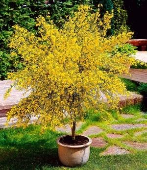Ginster-Stämmchen,1 Pflanze