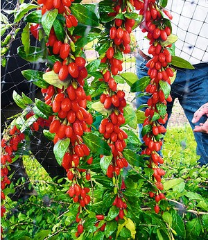 "Goji ""Sweet Lifeberry®"",1 Pflanze"