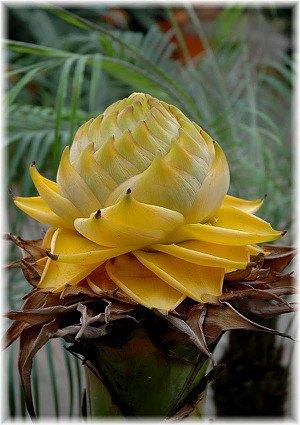 Golden Lotus Banane Musella lasiocarpa