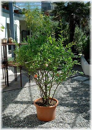Granatapfel Punica granatum ´Legrellei`