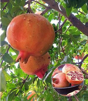 Granatapfel,1Pflanze