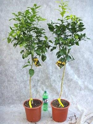 Grapefruitbaum (Pampelmuse, Pomelo)
