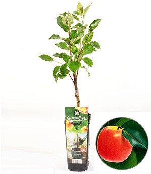 """Guaran Trees® Apfel """"Elstar"""",1 Pflanze"""