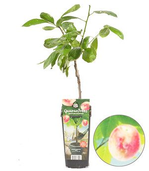"Guaran Trees® Pflaume ""Opal"",1 Pflanze"