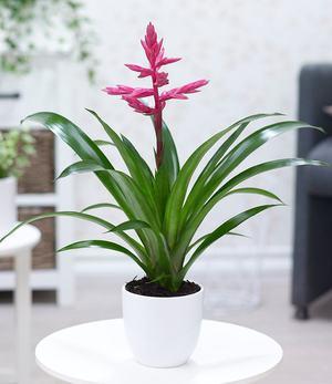 """Guzmania """"Rosa"""",1 Pflanze"""