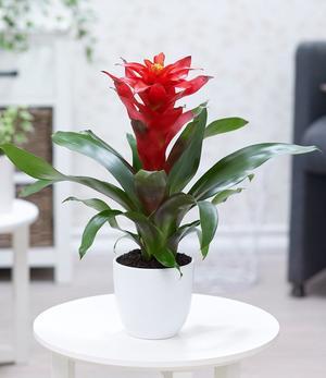 """Guzmania """"Rot"""",1 Pflanze"""