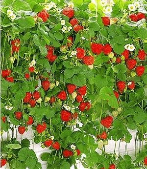 kletter erdbeere hummi 3 pflanzen g nstig online kaufen mein sch ner garten shop. Black Bedroom Furniture Sets. Home Design Ideas