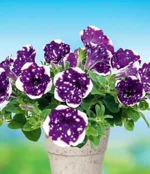 "Hänge-Petunie ""AlpeTunia®"" Glacier Sky,3 Pflanzen"