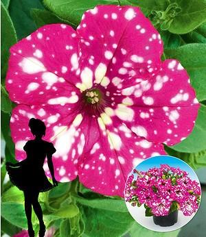 """Hänge-Petunie """"BabyDoll®"""",3 Pflanzen"""