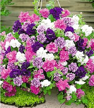 """Hänge-Petunien """"Viva"""" Prachtmix,12 Pflanzen pink blau weiß violett"""