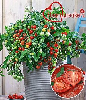 "Hänge-Tomate Heartbreakers® ""Vallery"" F1,2 Pfl. Tomatenpflanze hängend"