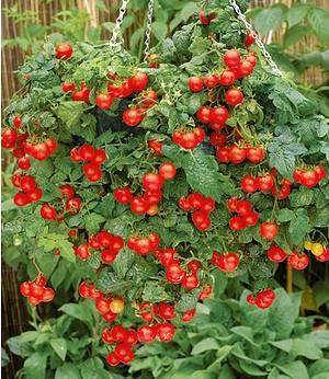 "Hänge-Tomate ""Tasty Tumbler"" 2Pflanzen Lycopersicon Cherrytomaten"