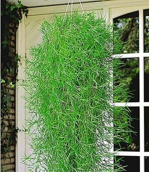 """Hängender Bambus """"Green Twist"""", 2 Pflanzen"""