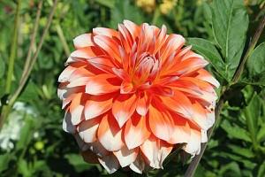 Hapet® Orange Ice - Dekorative Dahlie