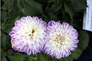 Hapet® Rosamunde - Dekorative Dahlie