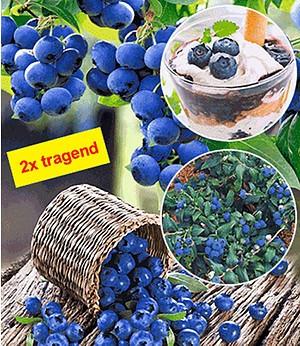 """Heidelbeere """"Hortblue®"""",1 Pflanze"""