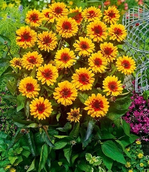 """Heliopsis """"Funky Spinner"""",1 Pflanze"""