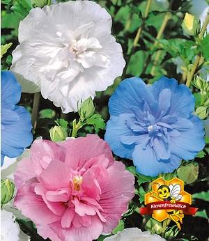 Hibiskus Chiffon®-Kollektion,3 Pflanzen