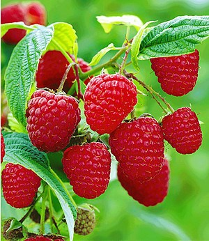 Himbeere TwoTimer® Sugana®,3 Pflanzen