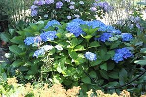 Hortensie, blaue Bauernhortensie