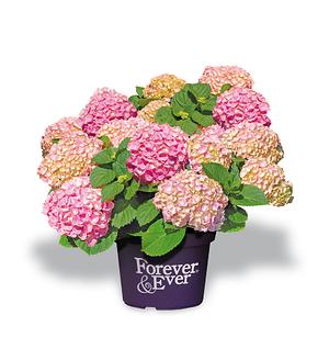 Hortensie 'Forever & Ever® Pink'