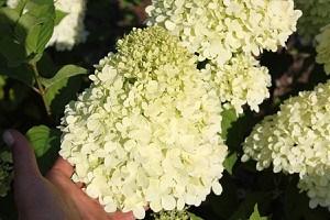 Hortensie Midi-Hydrangeasy®Limelite
