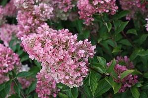 Hortensie Midi-Hydrangeasy®Vanille Fraise