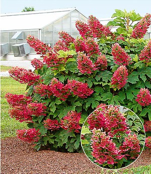 "Hortensie ""Ruby Slippers"",1 Pflanze"