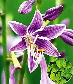 "Hosta ""Purple Sensation"",1 Knolle"