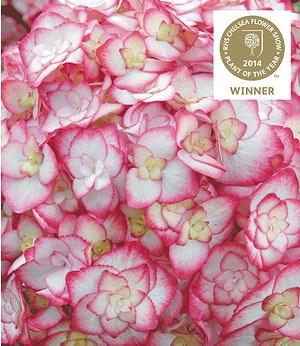 "Hydrangea ""Miss Saori®"", 1 Pflanze"