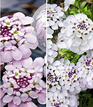 Iberis-Kollektion,5 Pflanzen