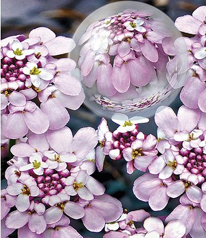 "Iberis ""Pink Ice®"",2 Pflanzen"