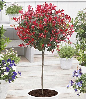 "Immergrünes Photinia-Stämmchen ""Little Red Robin®"",1 Pflanze"