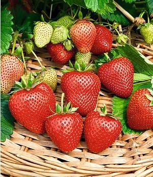 """Immertragende Erdbeere """"Buddy®"""",3 Pflanzen"""