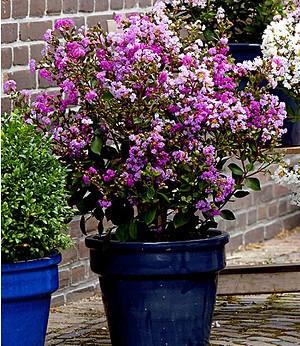 """Indianerflieder """"Rhapsody in Pink®"""",1 Pflanze"""