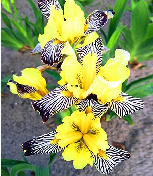 "Iris ""Censation® Golden Zebra"",3 Knollen"