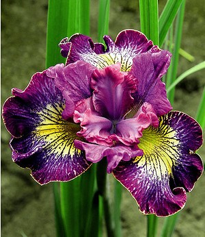 "Iris ""Censation® How Audacious"",3 Knollen"