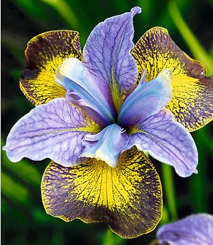 "Iris ""Peacock Butterfly® Uncorked®"",1 Knolle"