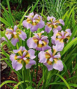 """Iris """"Rikugi Sakura"""",3 Knollen"""
