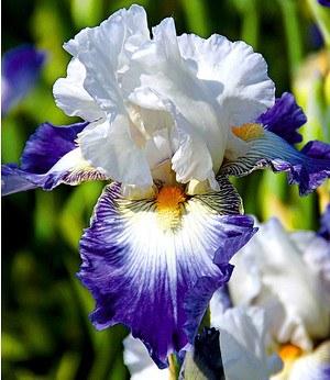 """Iris """"Ruban Blue"""",3 Knollen"""